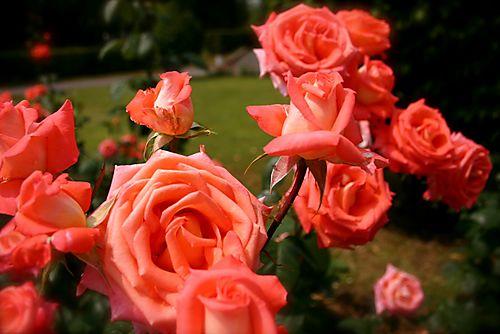 Roses prague