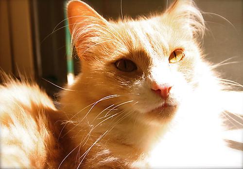 Little orange gatto